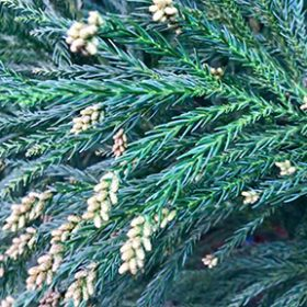 cryptomeria-closeup